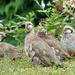 Red-Legged Partridge In Our Garden