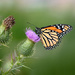 Purple Thistle with a Monarch!