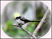 17th Aug 2017 - Long tailed tit