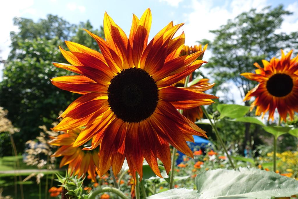 Sunflower by johnsutton