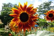 17th Aug 2017 - Sunflower