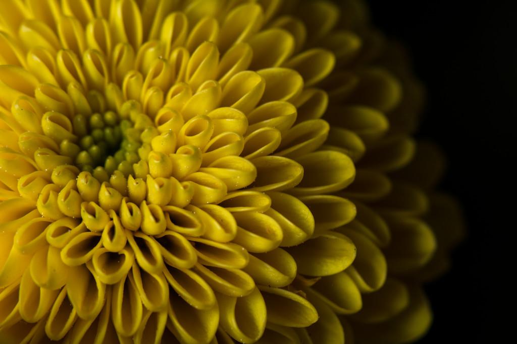 Yellow chrysanthemum by rumpelstiltskin