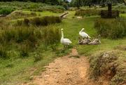 17th Aug 2017 - Meet the Swan family