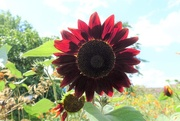 18th Aug 2017 - Red Sunflower