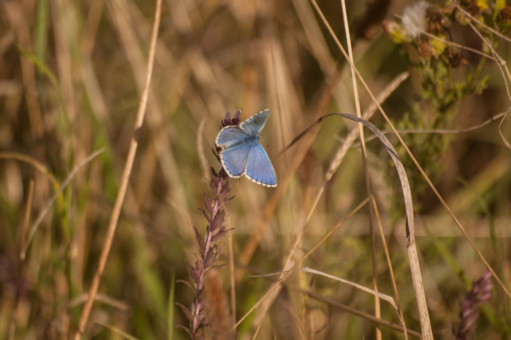 Adonis Blue by fbailey