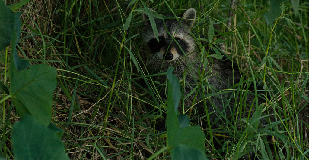 Raccoon Hiding in the Grass! by rickster549