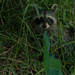 Raccoon Hiding in the Grass!