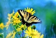 16th Aug 2017 - Swallowtail