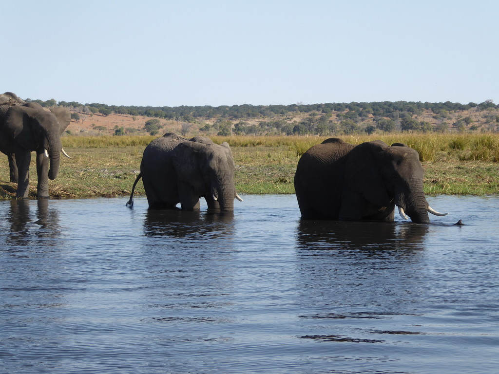 Elephants in the Chobe River by cmp
