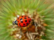 19th Aug 2017 - Ladybird