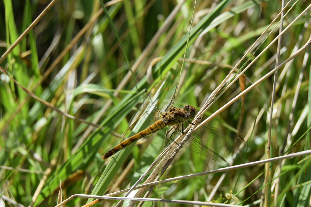 Common darter by dragey74