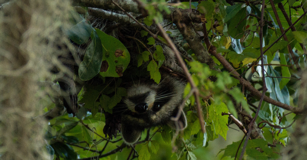 Here's Looking at You, Said the Upside Down Raccoon! by rickster549