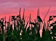 8th Aug 2017 - Sunset Bird