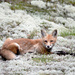 The Red Fox from Algonquin Park!
