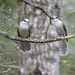 What did one gray jay say to the other!