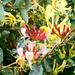 Honeysuckle flowerring in the hedgerow
