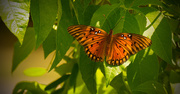 20th Aug 2017 - Gulf Fritillary Butterfly!
