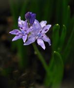 21st Aug 2017 - Blue spring flower