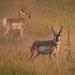 Pronghorn Antelope Clan