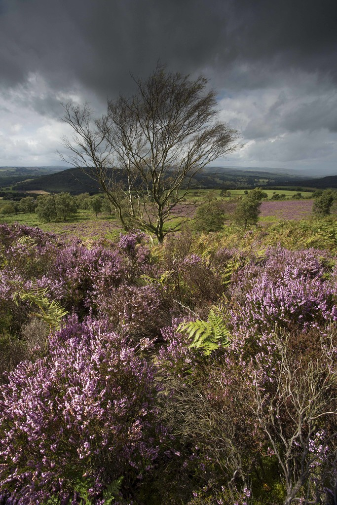 Heather in the Peak District by shepherdmanswife