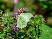 21st Aug 2017 - Brimstone Butterfly