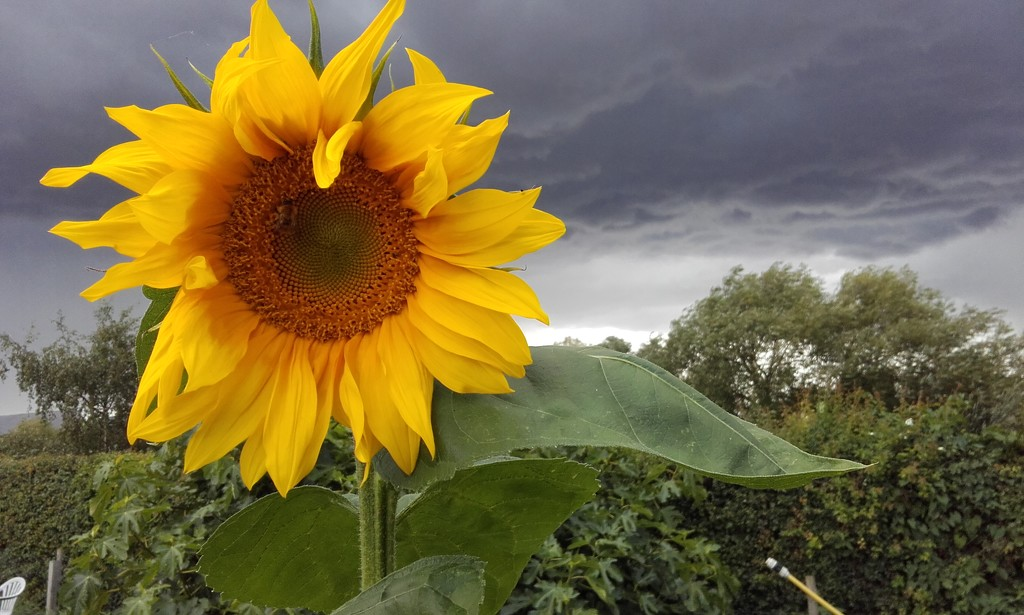 Sunflower under the storm clouds by busylady