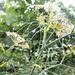 Rain droplets on fennel....