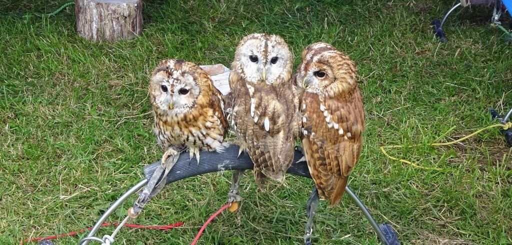 Three little owls -- see no evil , hear no evil , talk no evil .  by beryl