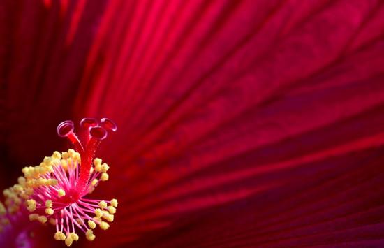 The Red Pistil by jayberg