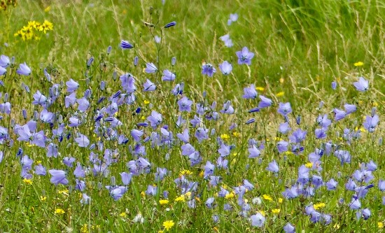 Harebells by foxes37