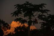 21st Aug 2017 - Papaya tree sunset
