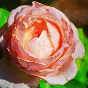 22nd Aug 2017 - Rosa x centifolia