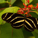 Another Zebra Heliconian or Zebra Longwing Butterfly!