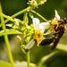 Giant Bee!