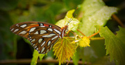 22nd Aug 2017 - A Different View of the Gulf Fritillary Butterfly!