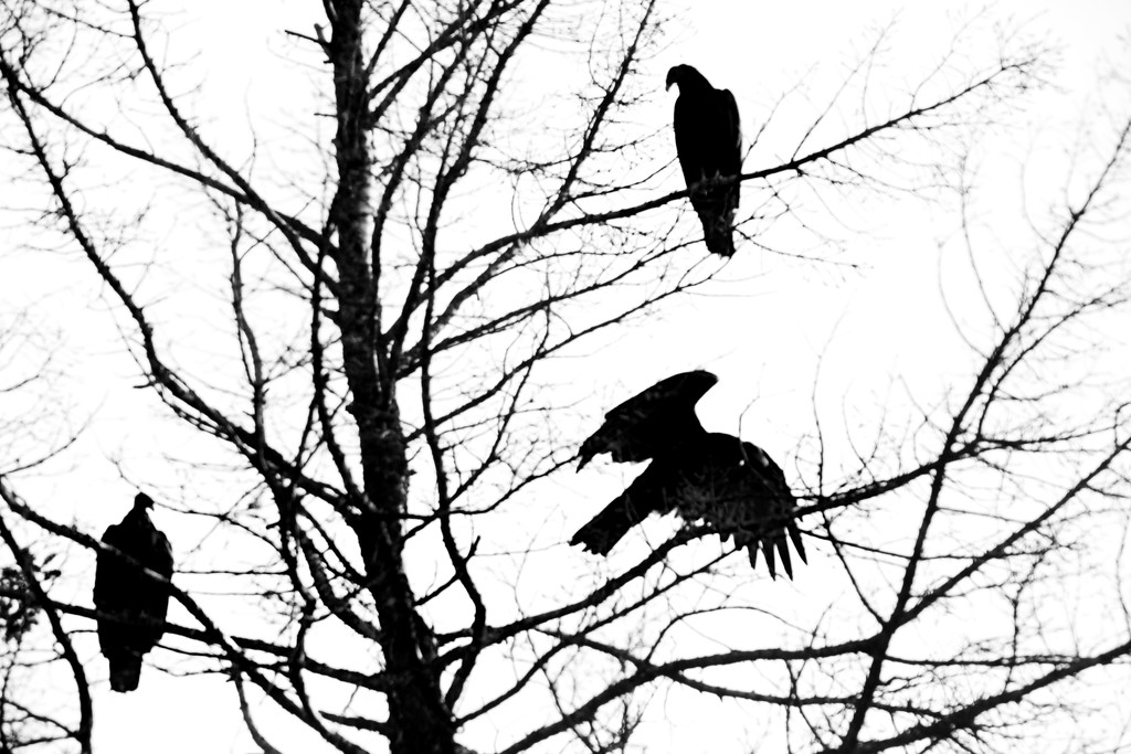 Turkey Vultures in the Tree by gq