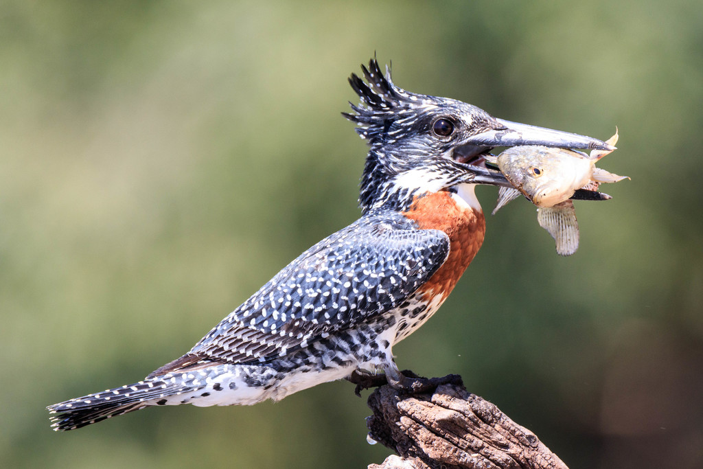 Giant Kingfisher by padlock