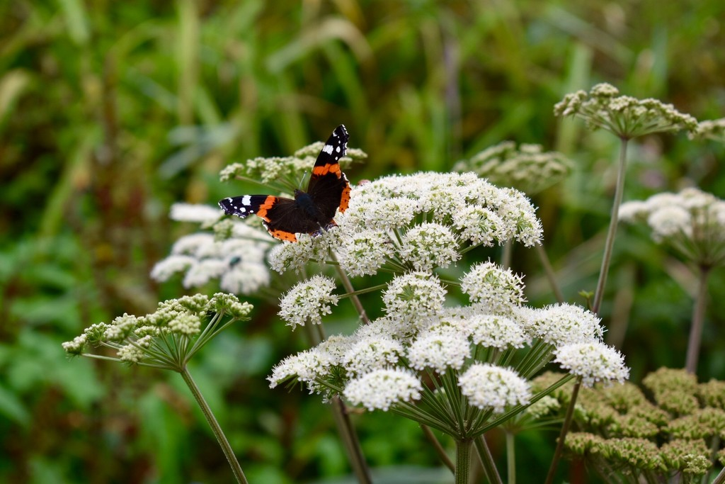 Red Admiral by gillian1912