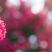 (Day 191) - Burst of Pink by cjphoto