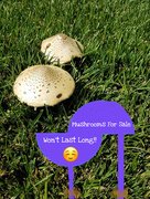 23rd Aug 2017 - Mushrooms for sale- Won't last long.  Six Word Story