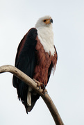 12th Aug 2017 - 2017 08 12 - African Fish Eagle