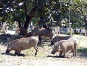 31st Jul 2017 - Warthogs