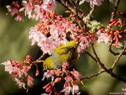25th Aug 2017 - Waxeye on Blossom