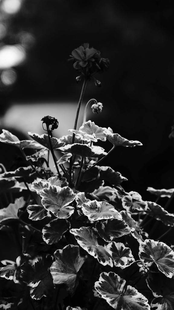 Geraniums in high contrast mono by randystreat