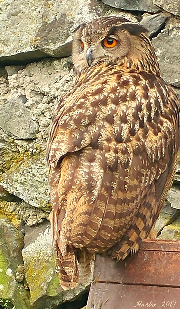 Trosky Castle Owl by harbie