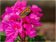 25th Aug 2017 - Small Tortoiseshell Butterfly