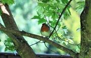 25th Aug 2017 - Summer Robin