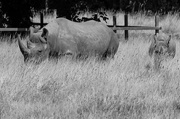 25th Aug 2017 - Black rhino