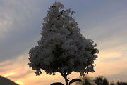 25th Aug 2017 - Crepe Myrtle at Sunset
