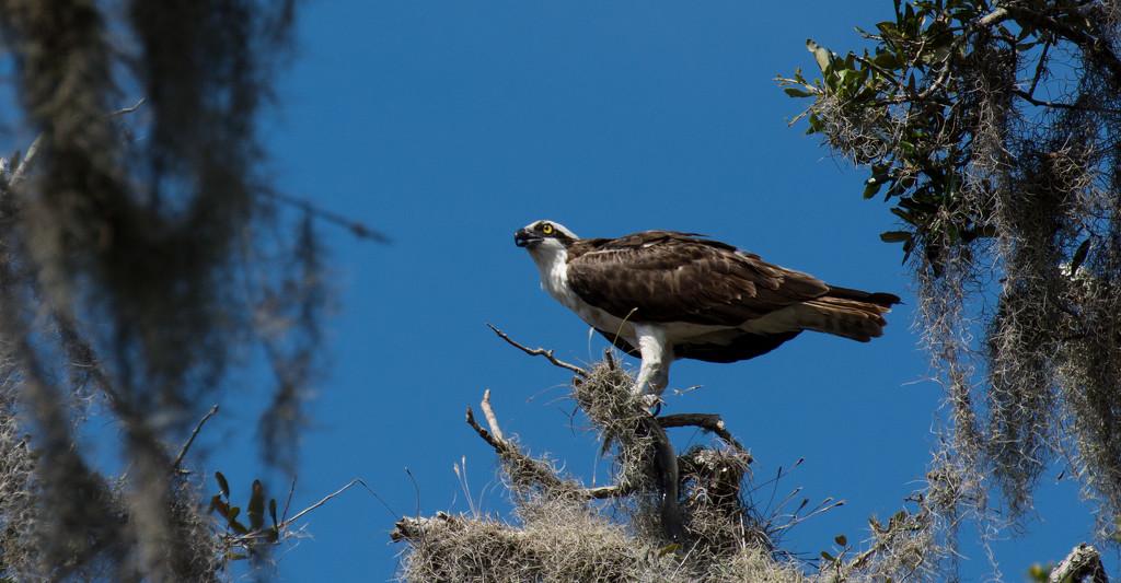 Osprey Having Lunch! by rickster549
